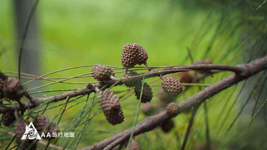 十三行考古公園途中看到的小松果