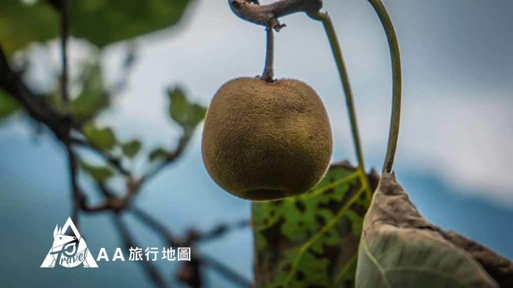 大山北月 這個是台灣種的奇異果,很小一顆但是非常的甜,採了都捨不得吃掉